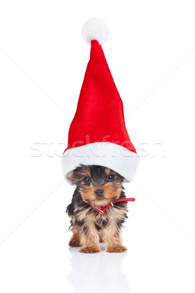 santa yorkie Stock photo © feedough