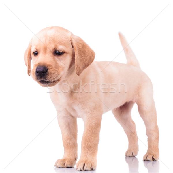 adorable barking little labrador retriever puppy dog  Stock photo © feedough