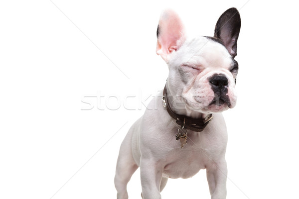 Klein frans bulldog permanente witte Stockfoto © feedough
