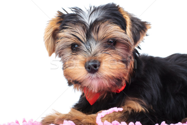 little yorkie puppy laying on a carpet  Stock photo © feedough
