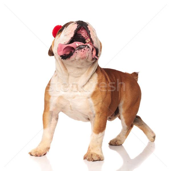 Curioso Inglés bulldog caminando algo Foto stock © feedough
