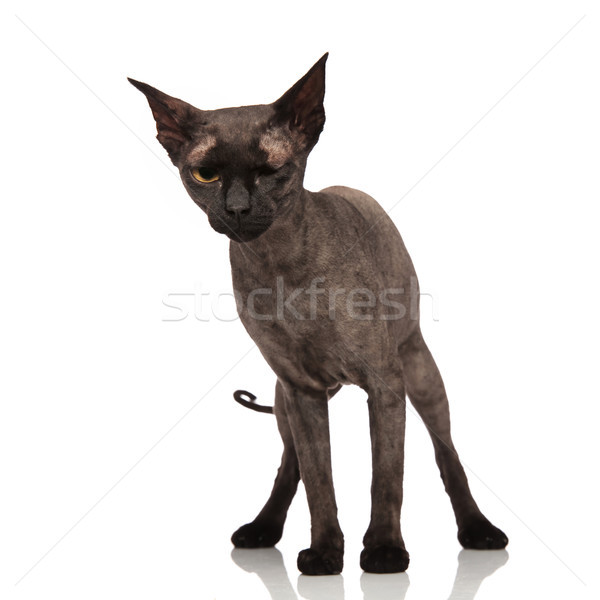 grumpy grey cat standing and winking Stock photo © feedough