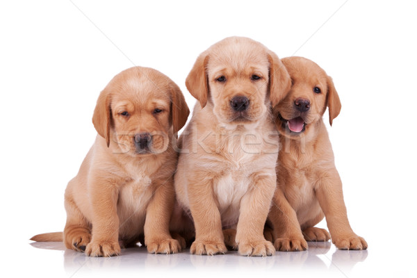 Trois adorable peu labrador retriever chiots séance Photo stock © feedough
