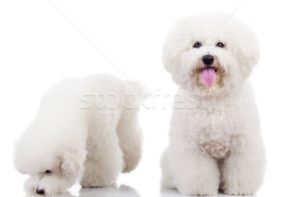 two curious bichon frise puppy dogs, Stock photo © feedough