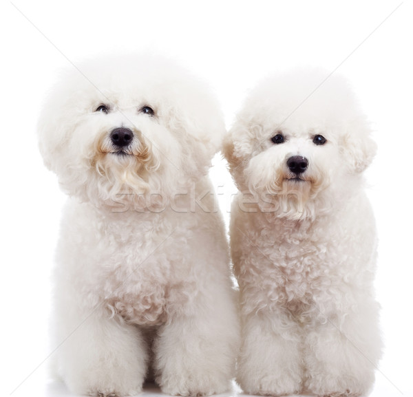 two bichon frise puppy dogs standing  Stock photo © feedough