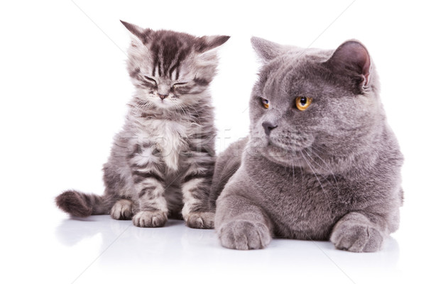 english cats. mother lying and cub sitting Stock photo © feedough