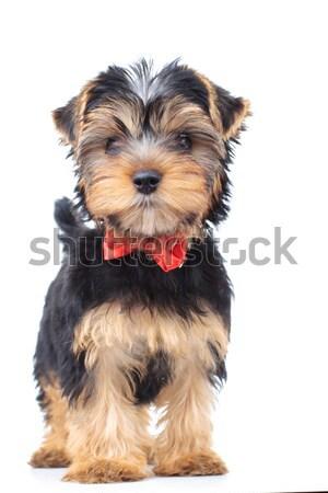 Yorkshire terriër puppy hond permanente witte Stockfoto © feedough