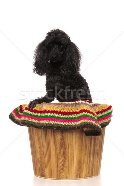 черный пудель сидят ковша белый Сток-фото © feedough
