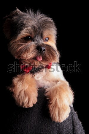 cute elegant yorkshire terrier wearing red bowtie looks to side Stock photo © feedough