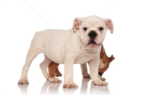 Kicsi angol bulldog kutyakölyök valami mögött Stock fotó © feedough