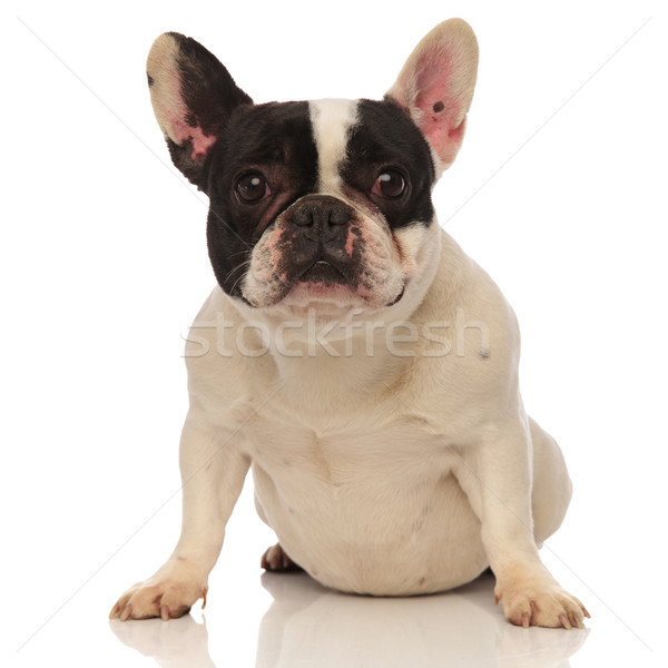 french bulldog with funny looking ears sitting Stock photo © feedough