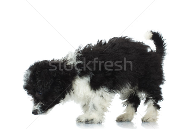 cute bichon havanese picks up a scent Stock photo © feedough