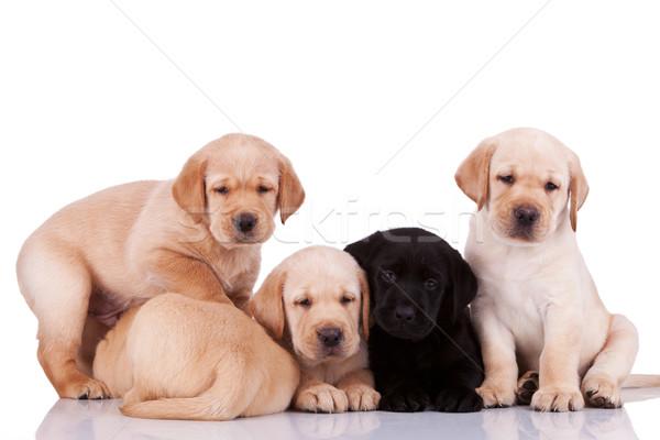 Stockfoto: Nieuwsgierig · weinig · labrador · retriever · puppies · vijf · witte