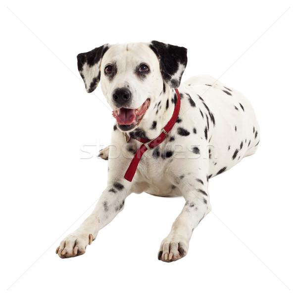 сидящий далматинец глядя что-то белый собака Сток-фото © feedough