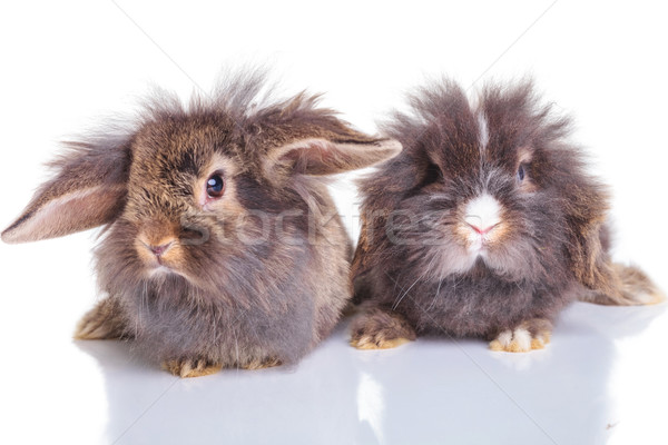 two adorable lion head rabbit bunnys lying down  Stock photo © feedough