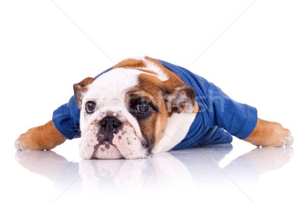 dressed english bulldog puppy Stock photo © feedough