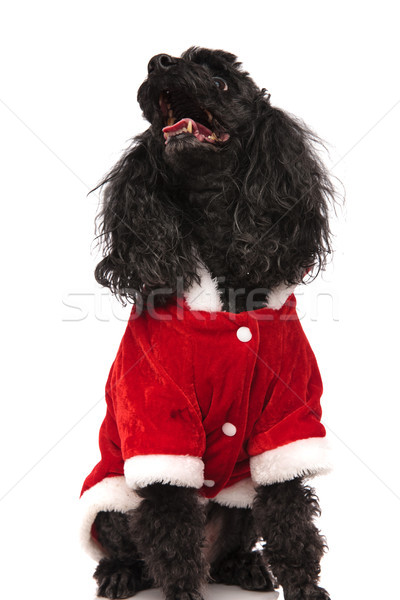 santa claus poodle looks up with mouth open Stock photo © feedough