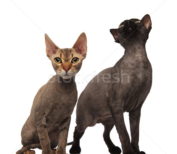 two curious cats , one is looking up  Stock photo © feedough