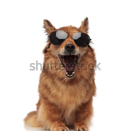 funny brown metis dog with sunglasses laughing with mouth open Stock photo © feedough