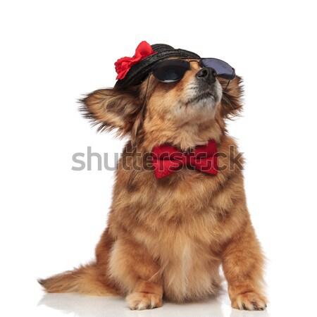 коричневая собака Hat коричневый собака Сток-фото © feedough