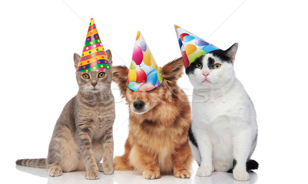 three mixed pets wearing colorful birthday caps Stock photo © feedough