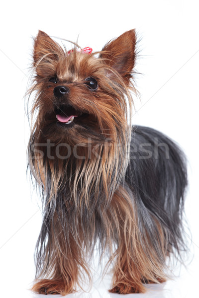 Cute Йоркшир Постоянный щенков Сток-фото © feedough