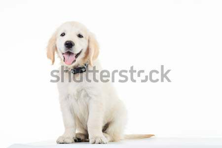 Feliz dorado labrador retriever cachorro perro Foto stock © feedough