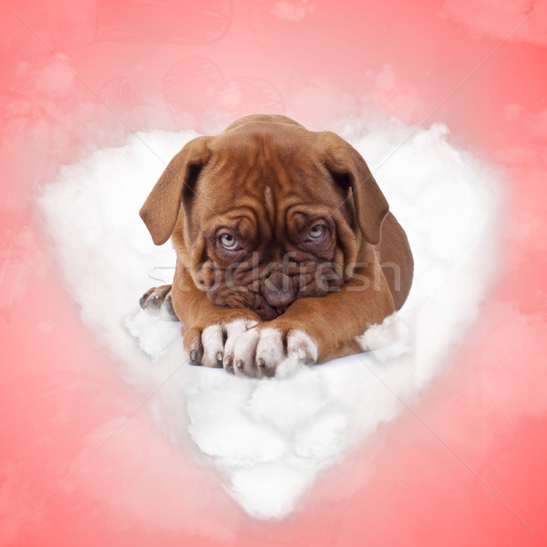 shy french mastiff puppy dog lying on a love cloud  Stock photo © feedough