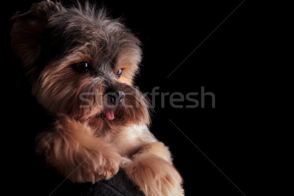 Adorable yorkshire terrier cachorro perro lengua Foto stock © feedough