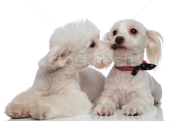 çok güzel beyaz çift oynama köpek öpücük Stok fotoğraf © feedough