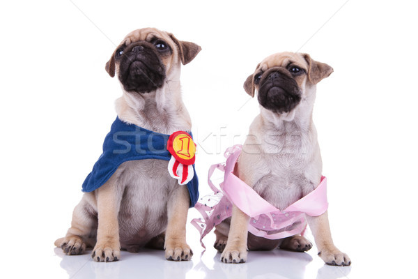 seated pug couple dressed for halloween looking up to side Stock photo © feedough