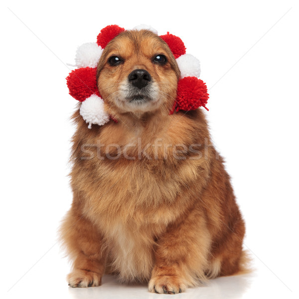 funny brown metis dog enjoys its warm headband Stock photo © feedough