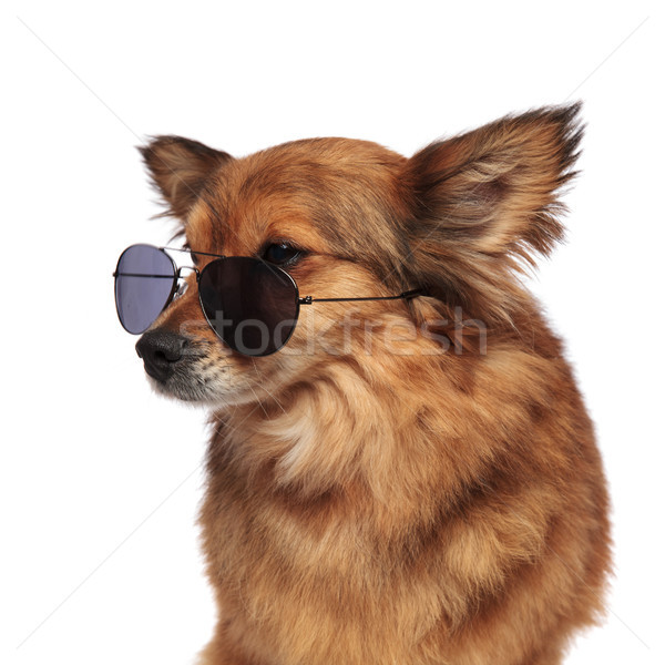 head of adorable brown dog looking to side over sunglasses Stock photo © feedough