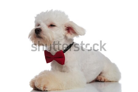 curious lying bichon with red bowtie looks to side Stock photo © feedough