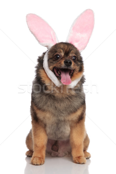 panting seated pom dressed as easter bunny looks to side Stock photo © feedough