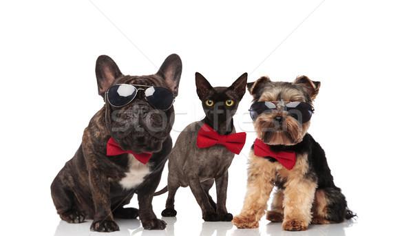 Stock fotó: Három · aranyos · vegyes · díszállatok · visel · napszemüveg
