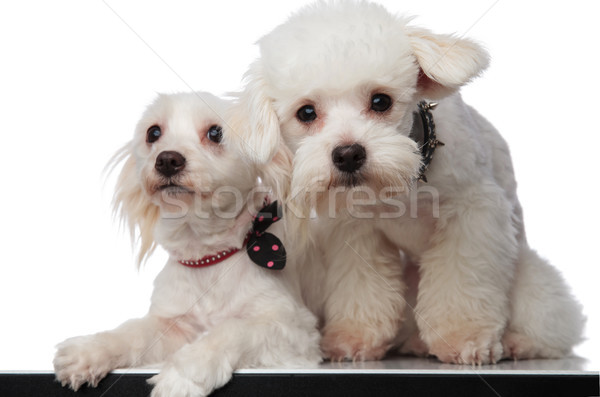 lovely white bichon couple sitting with paws hanging Stock photo © feedough