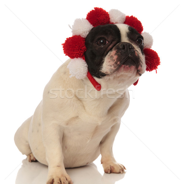lovely french bulldog with colored headband looks to side Stock photo © feedough