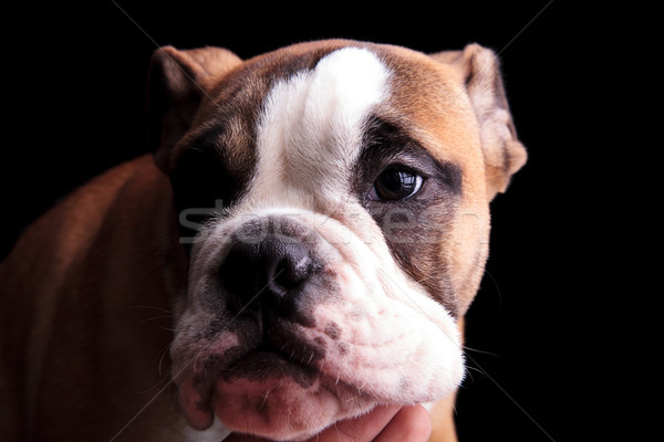 close up of sad english bulldog looking to side Stock photo © feedough