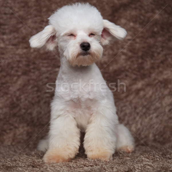 cute seated bichon blinking looks to side Stock photo © feedough