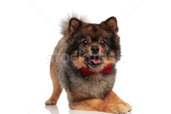 cute elegant pom with front legs down looks surprised Stock photo © feedough
