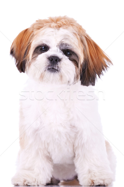 seated little shih tzu puppy Stock photo © feedough