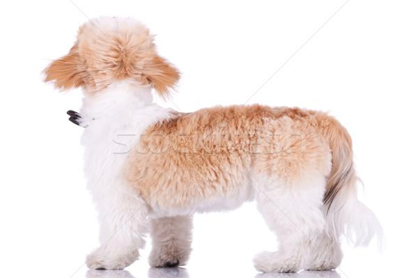 Stock fotó: Hát · kutyakölyök · áll · néz · valami · felfelé