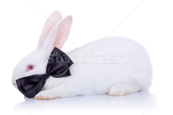 Godny podziwu biały bunny czarny muszka widok z boku Zdjęcia stock © feedough