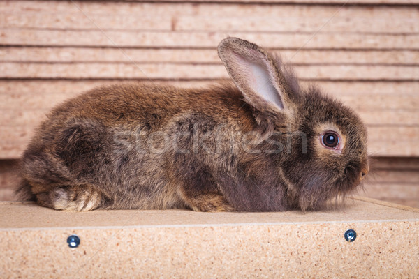 Full body of a furry lion head rabbit bunny lying Stock photo © feedough