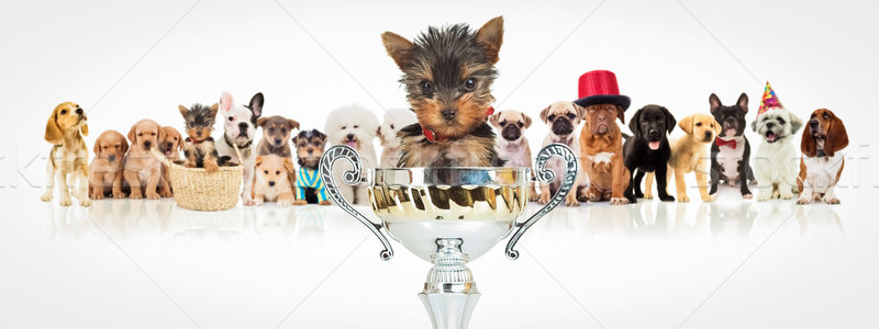 winning yorkshire terrier in front of  dogs pack Stock photo © feedough