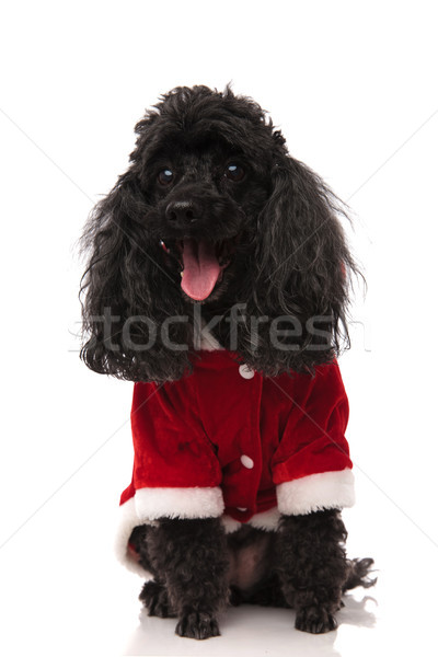 happy black poodle with mouth open wearing santa costume Stock photo © feedough