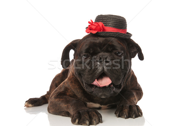 classy black boxer lying with mouth open looks down Stock photo © feedough