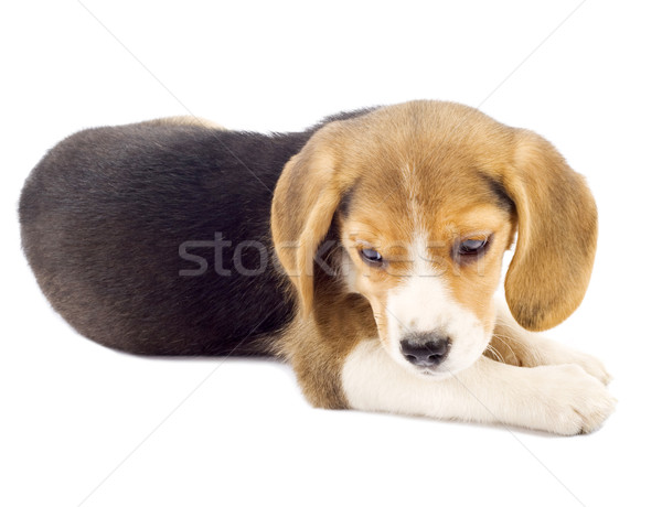 Faible Beagle chiot couché photos blanche Photo stock © feedough