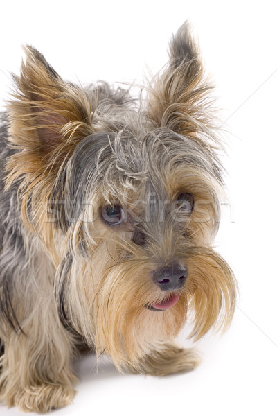 purebred dog (Yorkshire terrier) isolated on white Stock photo © feedough